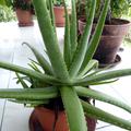 Lalwé (Aloe vera) - Laxatif, troubles cutanés, antalgique externe - Photo : Yvon