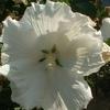 Hibiscus syriacus diana