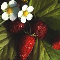 fraisier--GOLDEN-ALEXANDRA-.jpg