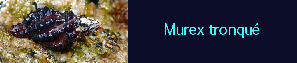 murex tronqué