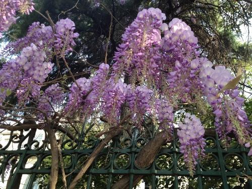 Les glycines en fleurs
