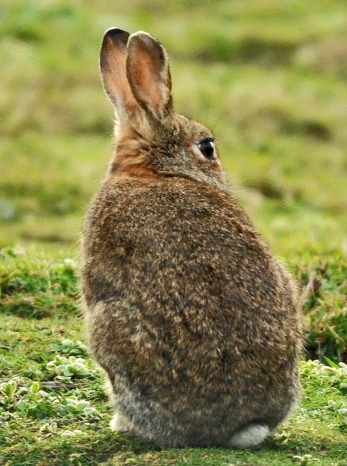 Lapinou, le lapin de garennes
