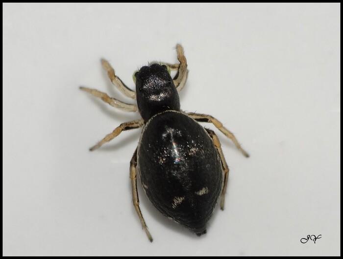 Heliophanus  cupreus.
