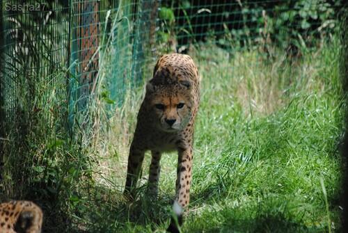 (1) Le guépard du Nord.