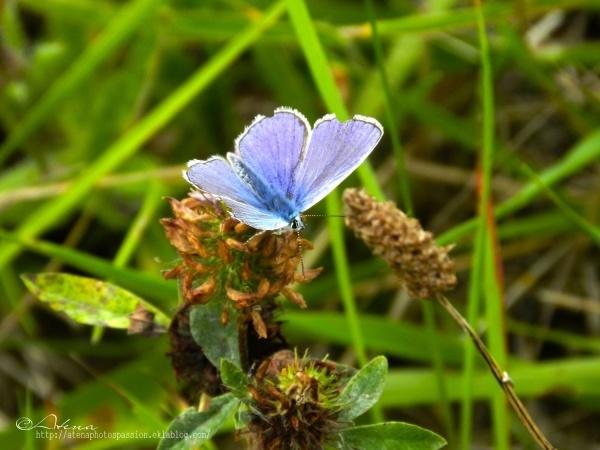 Papillion bleu