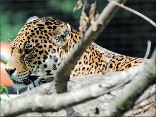 Photo de Jaguar au Zoo de Bordeaux Pessac