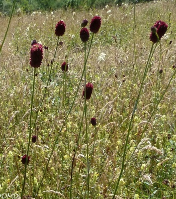 Sanguisorba officinalis   -   sanguisorbe officinale