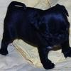 Chiot carlin femelle noire