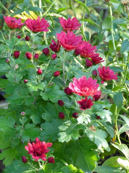 les chrysanthèmes du jardin