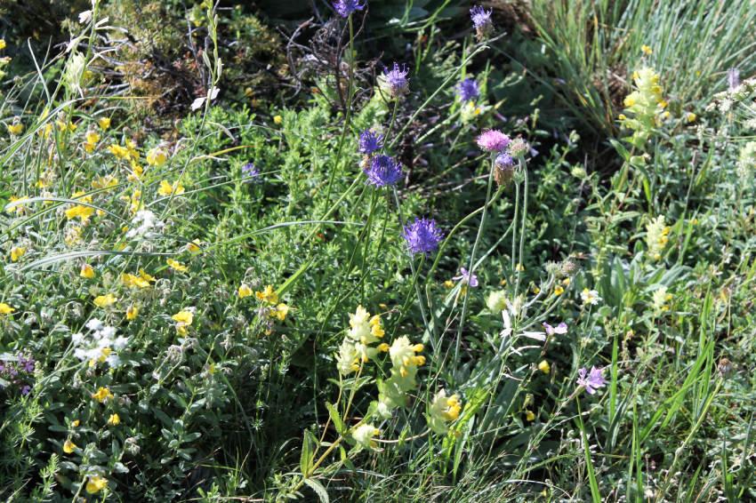 fleurs de montagnes , (2)