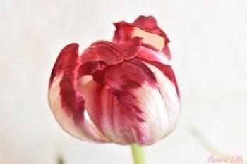 Fleur sans fin...