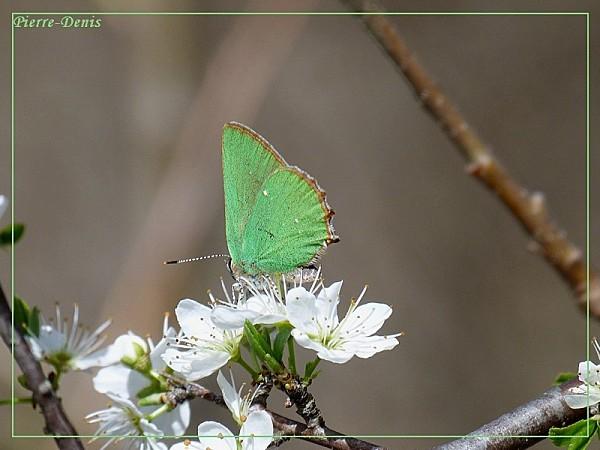 Argus vert