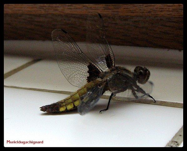 Insectes 1152 - Copie (Copier)