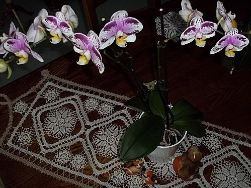 mes-orchidees-007.JPG