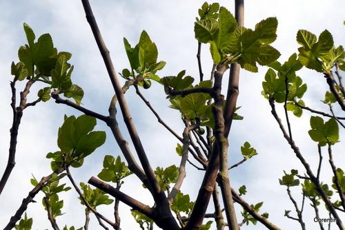Les premières feuilles du figuier