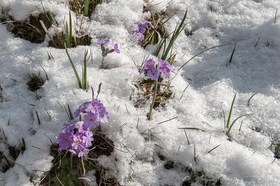 """Résultat de recherche d'images pour """"images de primevères dans la neige"""""""