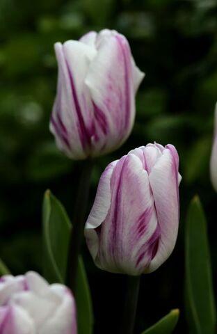 Tulipes 2021 : Flaming Flag