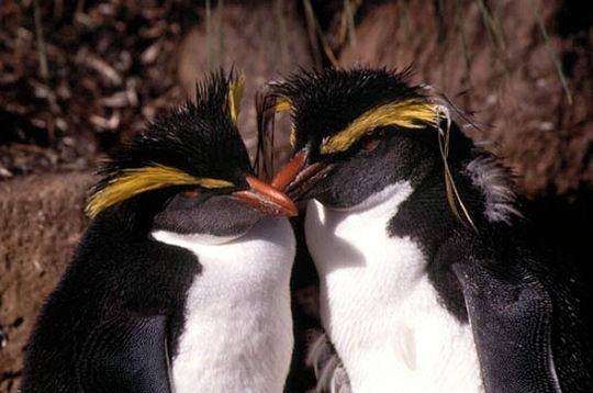 le gorfou sauteur est un oiseau fidèle, qui peut rester avec sa partenaire