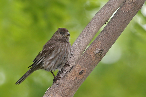 House Finch - Long Beach