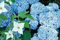 Arbres et arbustes - Des hortensias bleus pour longtemps