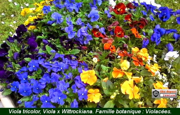 reconnaissance des végétaux,le lilas,L'héllianthème,une jardin japonais,les noms des plantes sont en bas de la photo