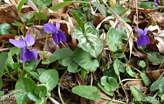 Viola odorata - violette odorante