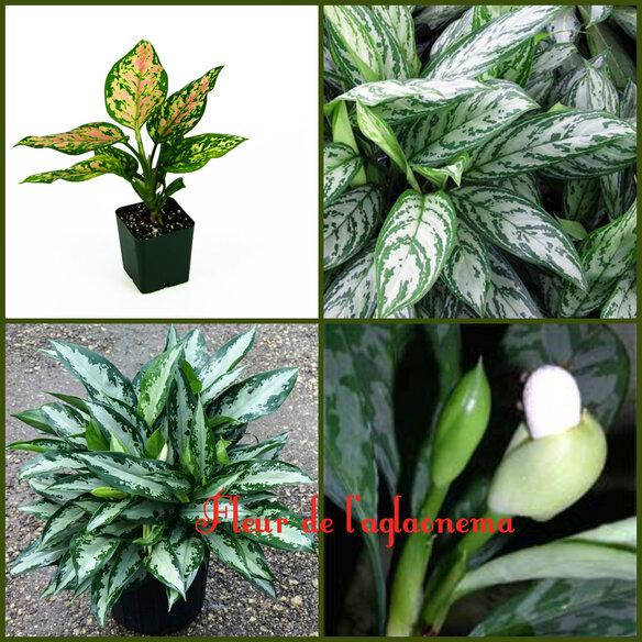 Plante dépoluante.Aglaonema
