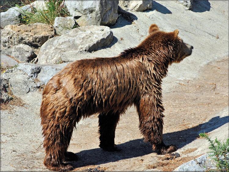 Photo d'ours (Zoo du bassin d'Arcachon)