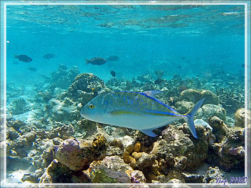 Snorkeling : Carangue bleue ou à ailes bleues ou étoilée, Bluefin trevally (Caranx melampygus) - Moofushi - Atoll d'Ari - Maldives