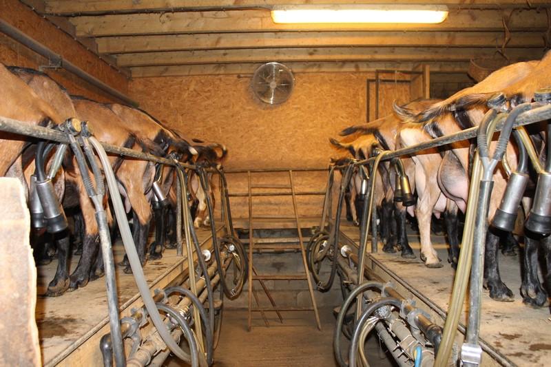 La traite des chèvres