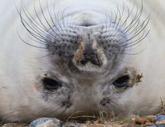 A seal lying upside down
