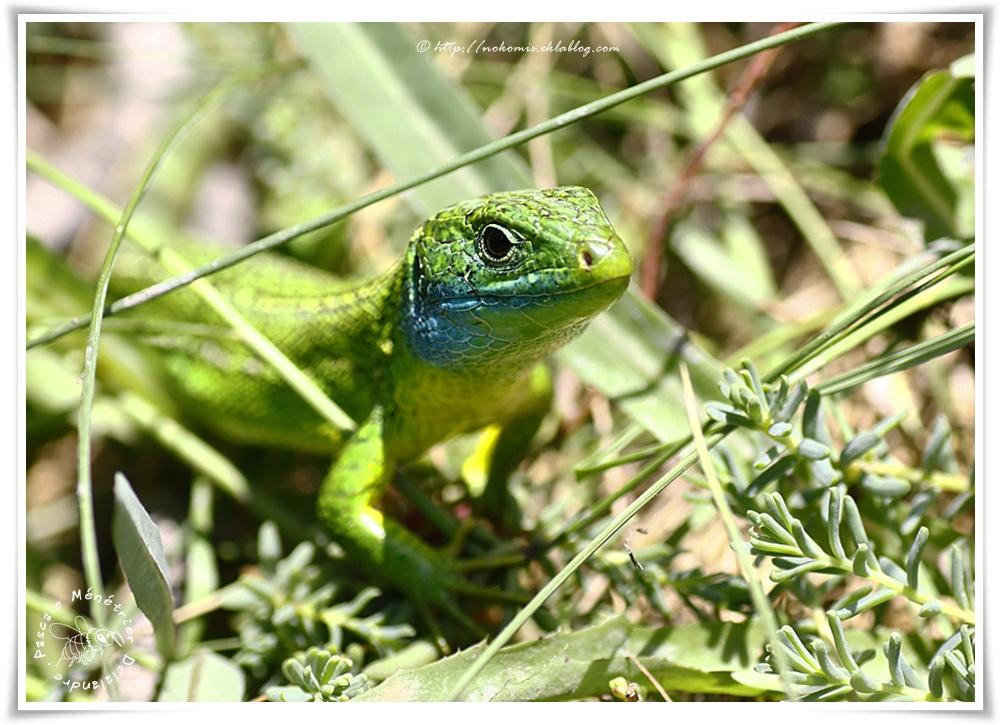Lézard vert (Lacerta bilineata; anciennement Lacerta viridis)