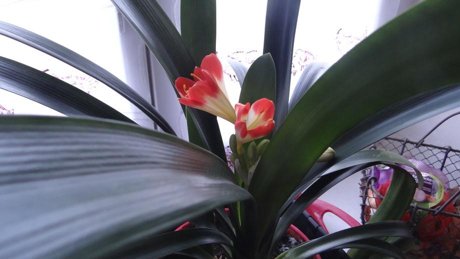 Le Clivia sera la Plante de Fin de Semaine