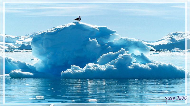 Perchoirs à Goéland bourgmestre, Glaucous Gull (Larus hyperboreus) - Ilulissat - Groenland