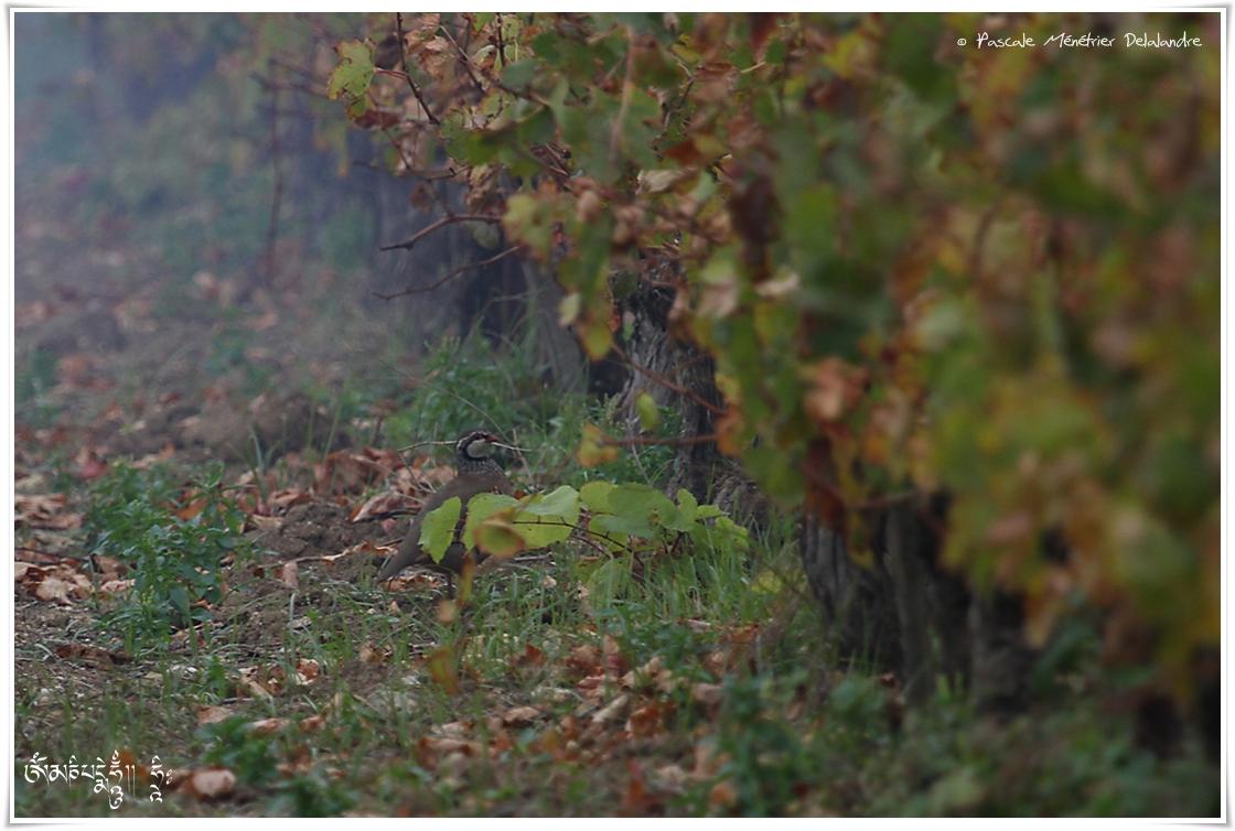 Perdrix rouge - Alectoris rufa - Red-legged Partridge