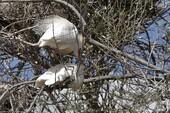 Hérons garde-boeufs en accouplement