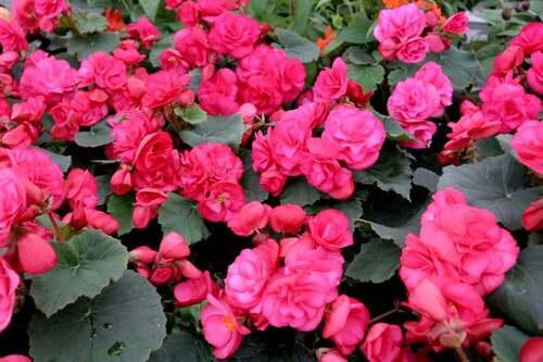 Fleurs cultivées : Bégonia