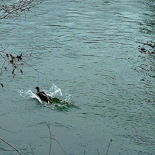 Le canard de Moselle 4 Marc de Metz 08 04 2013