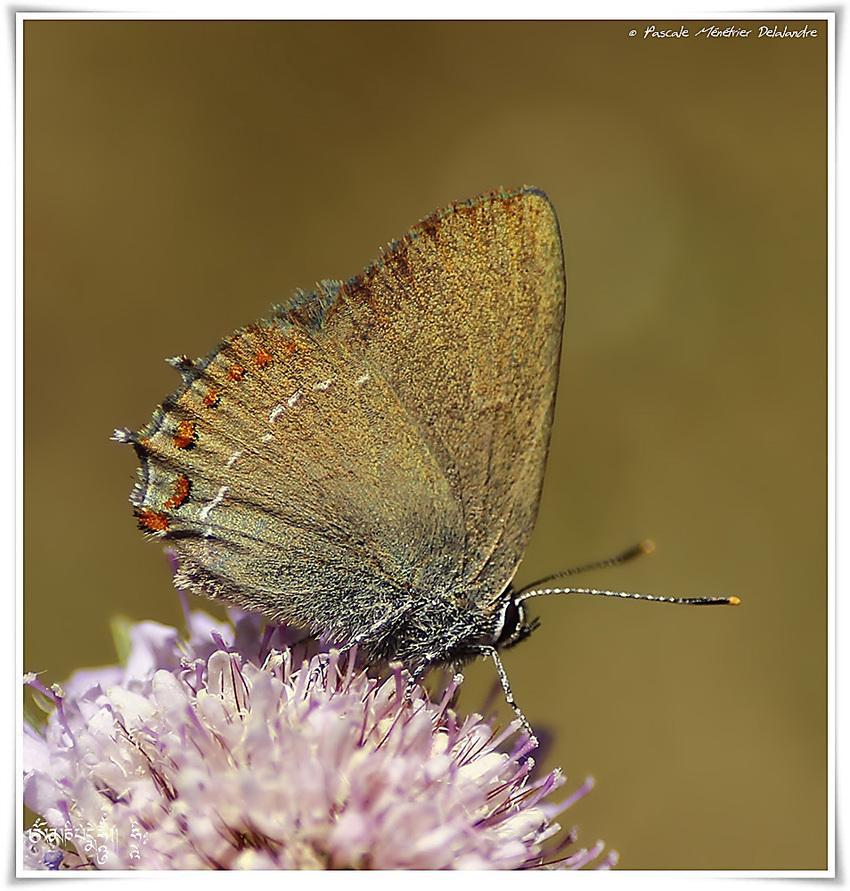 Papillons Thècles