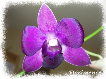 Dendrobium_violet_2014_01