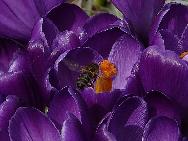 Crocus et abeille 02