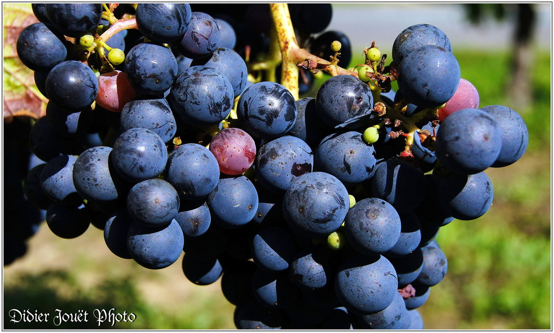 Vigne & Raisin