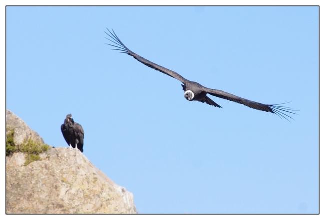 Oiseaux - Condors