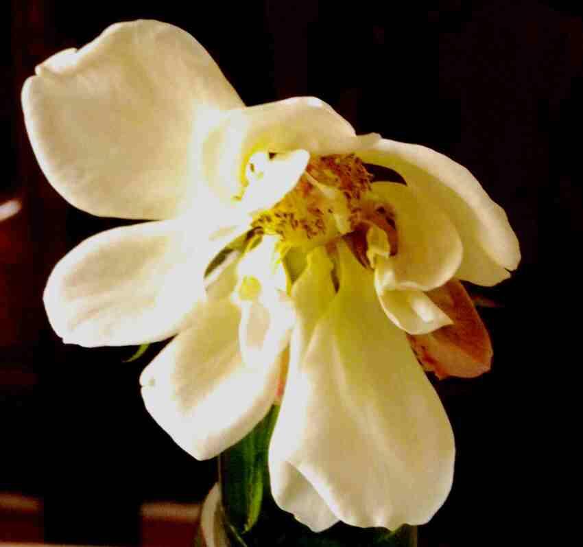 La vie de ma rose préférée au jardin
