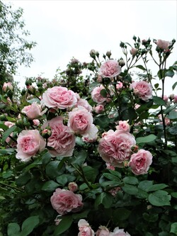 Le plein moment des roses! (1ère partie)