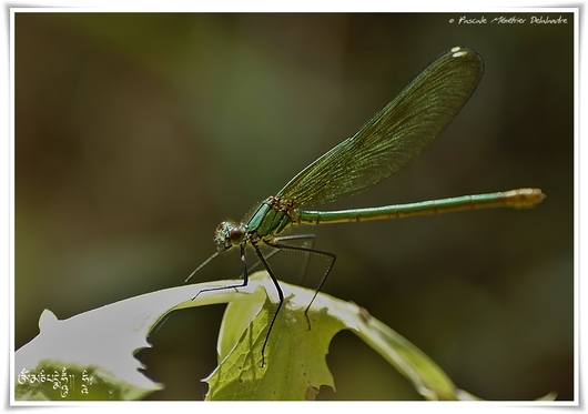 Caloptéryx vierge ♀  (Calopteryx virgo)
