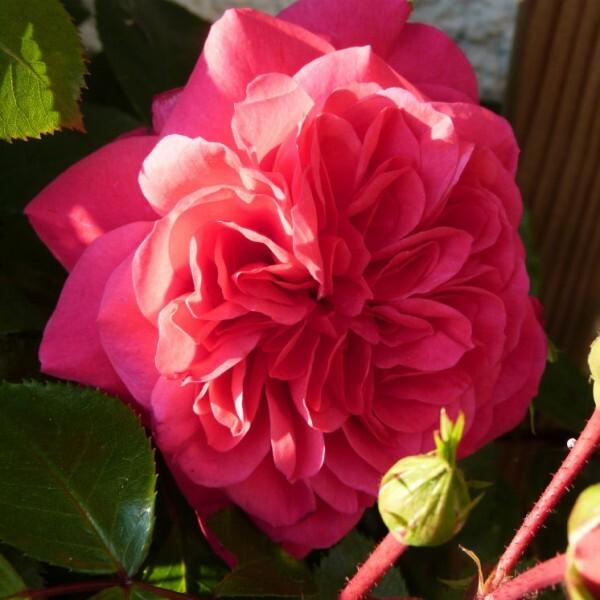 rosier-sangria---premiere-rose-2014.jpg