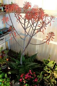 Aloe Saponaria dans la serre a fleuri - Avril 2014