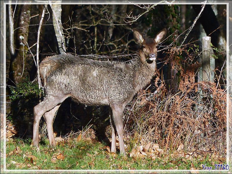 """Un jeune cerf tout """"pel felut"""" (se dit de quelqu'un qui a une sacrée tignasse ou est très mal rasé, il est """"pel felut"""", littéralement """"poil velu"""") - Lartigau - Milhas - 31"""