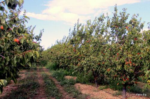 Rivesaltes : les abricots